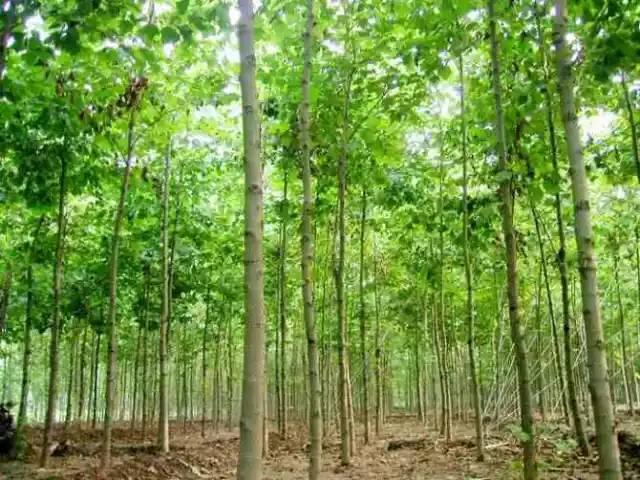 我国常见行道、庭荫、园林树种简介(图文并茂)