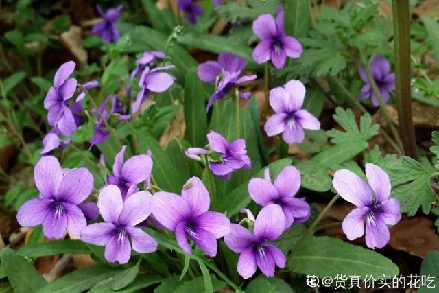 40种小野花,春天开得正美,挖几棵回家,不用买花了!