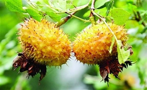 农村山上常见的野果,能清肠排毒,保护肾脏,美白护肤