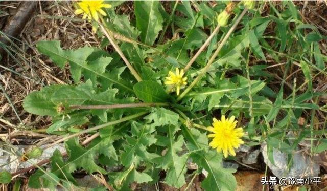 在乡下,百草为药,农村常见的中草药,你认识有几种?