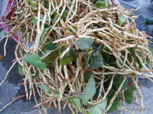 农村有哪些野生草药最常见的药材图片大全?可以人工种植吗?