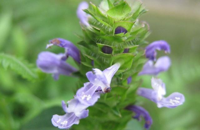 平时常见的夏枯草有什么作用?