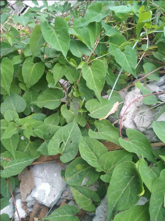 农村的山坡上有哪些名贵药材最常见的药材图片大全?你上山采过哪些草药?