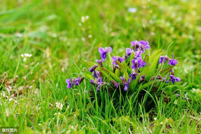 105种路边的野花、野草,漂亮的、能吃的、药用的,都是儿时记忆