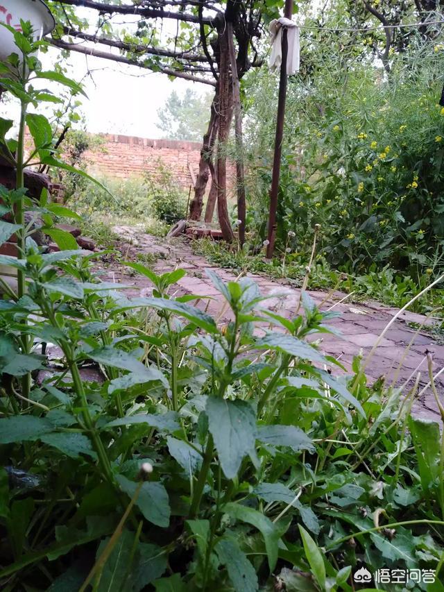 农村中有哪些最容易被忽略的最常见的药材图片大全,有奇效的灵异草药?