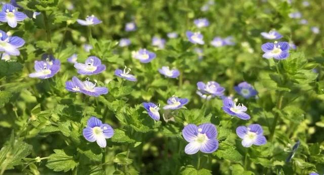 10种童年最常见的小野花,现在认识的没几种了!