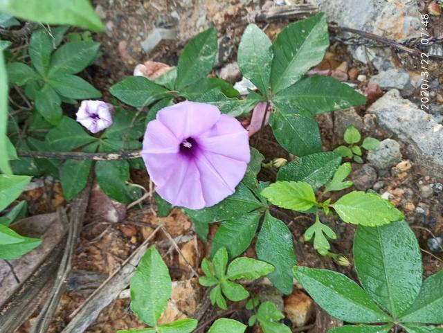 五爪金龙开花神似喇叭花,但是繁殖能力超强,一不小心就长满家