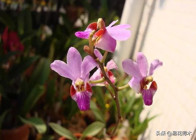 兰花鉴赏|五唇兰花色倩丽,花姿优雅,是我国海南特有品种