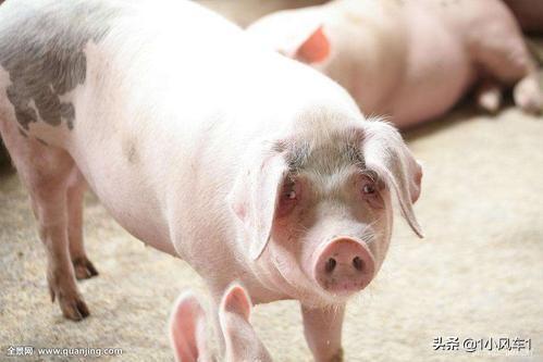 你们小时候家里养过猪么?