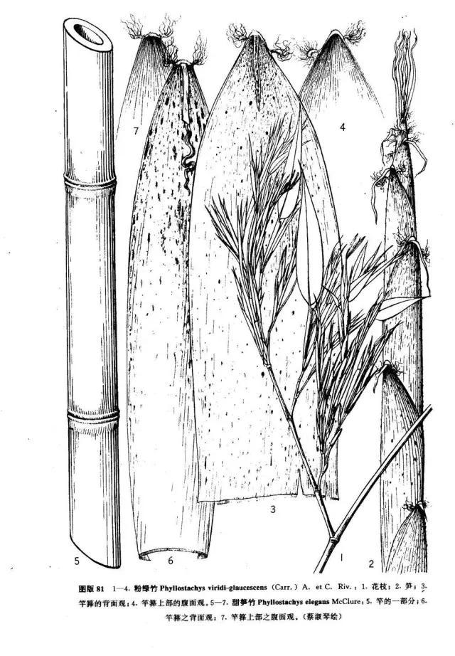 竹子有26种中药草图片大全,详解,配图