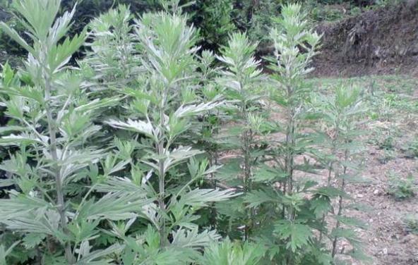 农村这常见的7种野草,没想到药用价值如此高