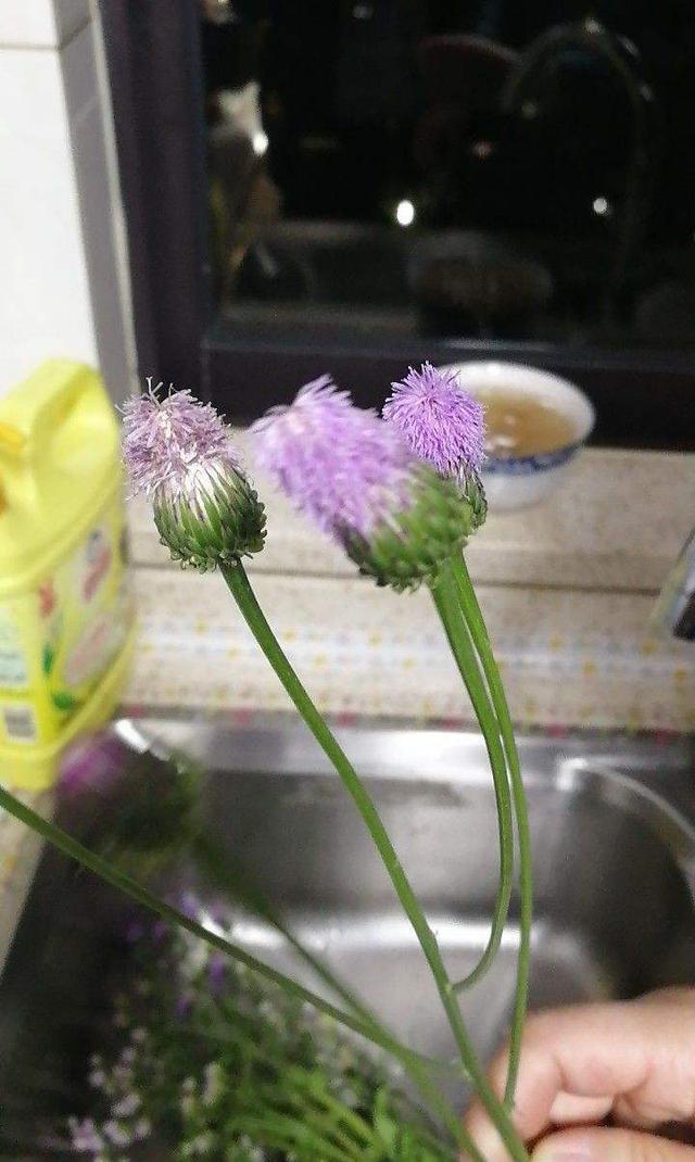 不起眼的小野花中药草图片大全,挖回家能当野菜吃,还是有名的中药草