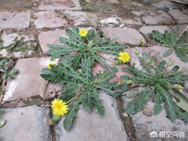 农村有哪些野生植物可以自制成茶叶喝呢中药草图片大全?都有什么作用?