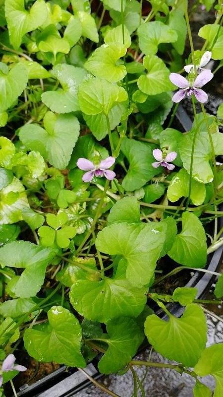 """这野草的名字叫""""如意"""",挖一棵回家吉祥顺意,开紫花仙气十足"""