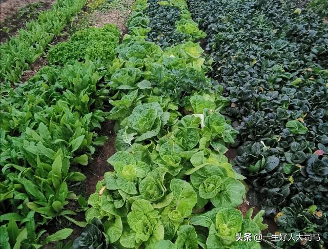 小青菜主要有哪些病虫害?该如何防治?