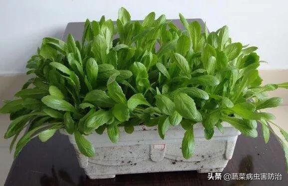 盆栽小青菜长虫子怎么办青青菜的副作用?