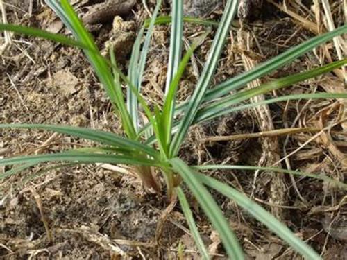 这种草,叫什么名字?地里很多,有没有什么可以根除的方法?