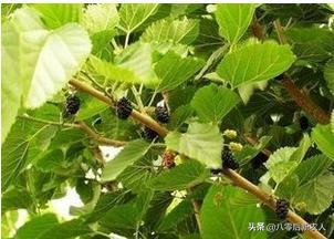 桑树根外施肥有什么好处?如何施肥?