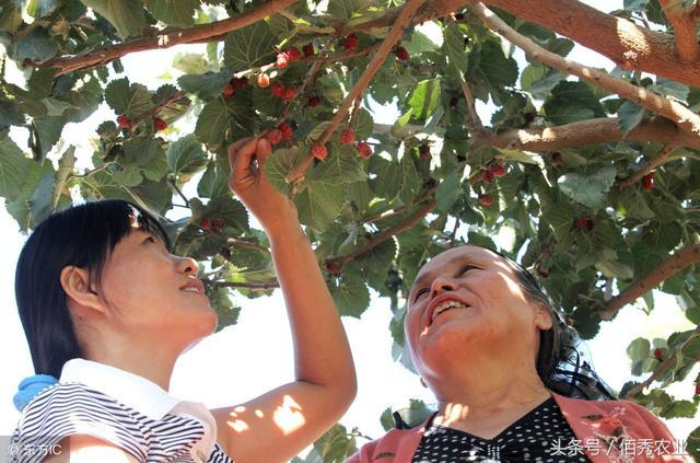 桑树有什么用途桑叶和桑根有什么作用?