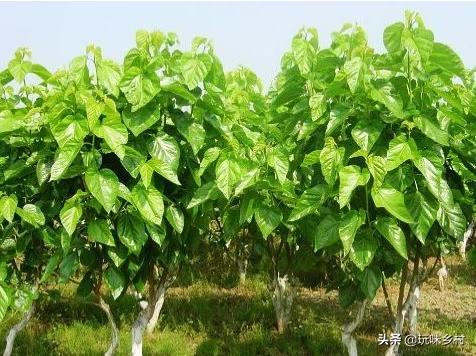 养蚕大县,每年冬季桑树下枝都会下非常多的桑条,怎么利用桑枝赚钱?