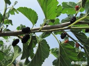 桑树根、茎、叶、寄生物、果实能养生吗桑叶和桑根有什么作用?各有什么功效?