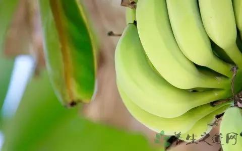 吃香蕉会发胖吗火炭母中药图片?
