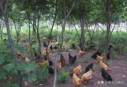 农村的鸡生病用什么土方法治火炭母中药图片?有哪几种?
