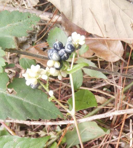 """路边常见的野草火炭母中药图片,名叫""""火炭母"""",很多人当杂草,殊不知珍贵"""