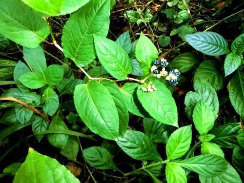 路边一种杂草价值高火炭母中药图片,名叫火炭母,当成杂草随意践踏太浪费了