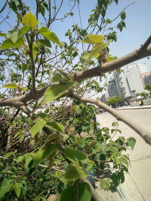 构树全身都是宝中药海燕图片,花穗和果子都能吃,叶子还能洗碗