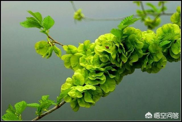 你们那里的农村还有榆树吗?现在又到了该摘榆钱吃的季节了?榆钱怎么做好吃呢?