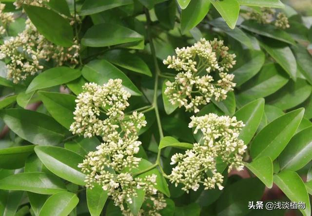 海南黄花梨是梨树吗中药海燕图片?有什么用途?