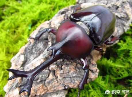"""农村常见的""""独角仙""""虫一只能卖到上百元是真的吗中药海燕图片,为什么,到底有什么功效?"""