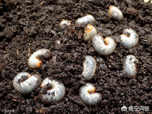 农村常见的白土蚕有什么作用中药海燕图片,可以治疗疾病吗,在哪里可以找到?