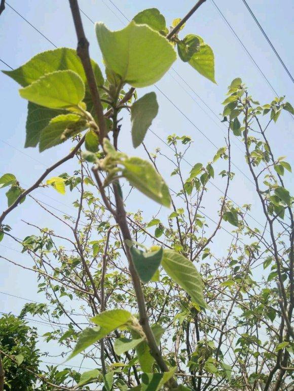 构树全身都是宝,花穗和果子都能吃,叶子还能洗碗