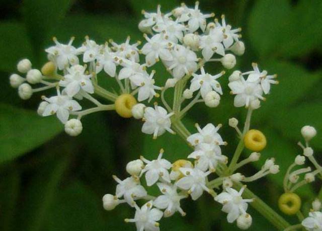 """被誉为""""龙骨草""""月经草的功效与作用,灵魂的栖息地,为何被称为辟邪之花"""