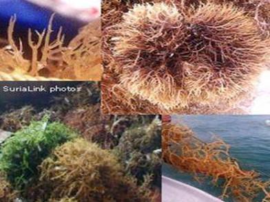 珊瑚草(海燕窝)的功效