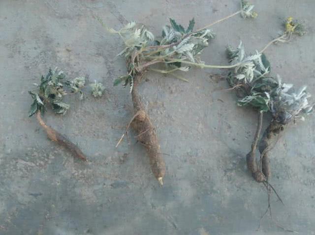 """野外一种""""小鸡腿""""月经草的功效与作用,小时候挖了当零食,叶子也是上好野菜"""