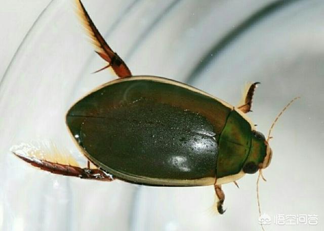 很多人喜欢吃农村水塘里的老鳖虫,它有什么营养价值?