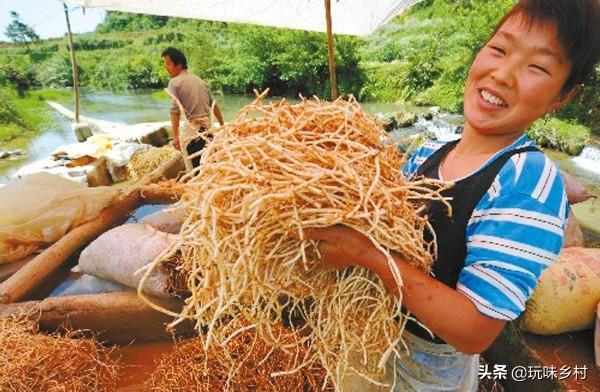农村里面经常见的鱼腥草有什么作用月经草的功效与作用?