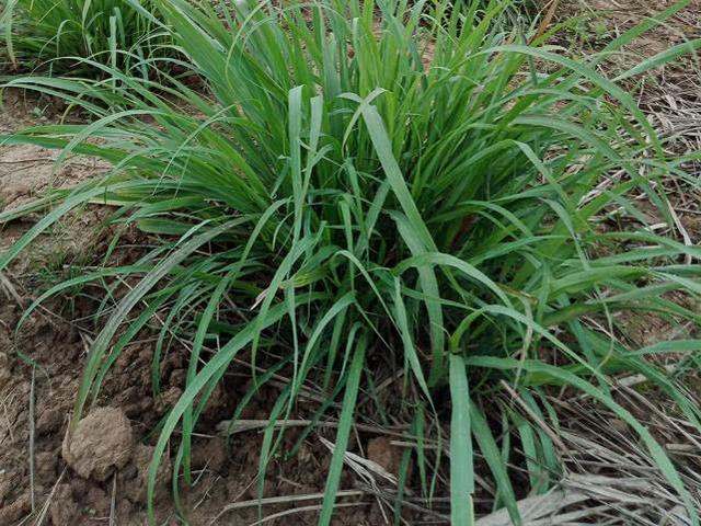 这种野草有香水味,国外用它做菜,殊不知还能用来洗头发