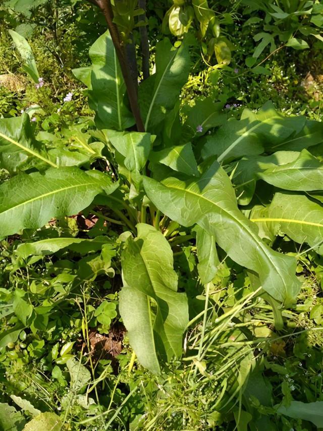 1种野草叫牛舌头月经草的功效与作用,好多人上山排队挖,竟然有大作用