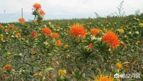 草红花的功效是什么月经草的功效与作用?