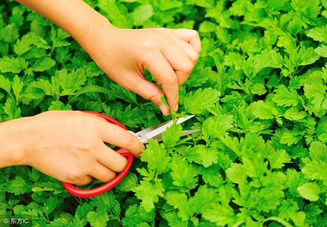 益母草:长在农村少人知月经草的功效与作用,但对女人痛经、调经的功效却很强大!