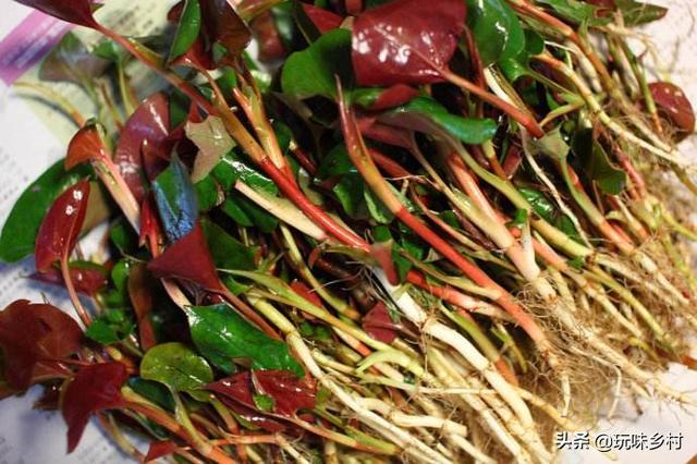 农村里面经常见的鱼腥草有什么作用?