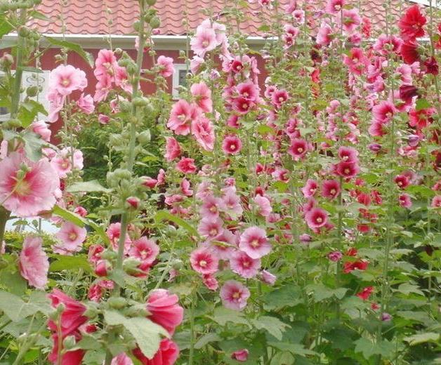 大红花红花图片,一丈红,风吹日晒不用管,节节开花顶天高,掐了做良药