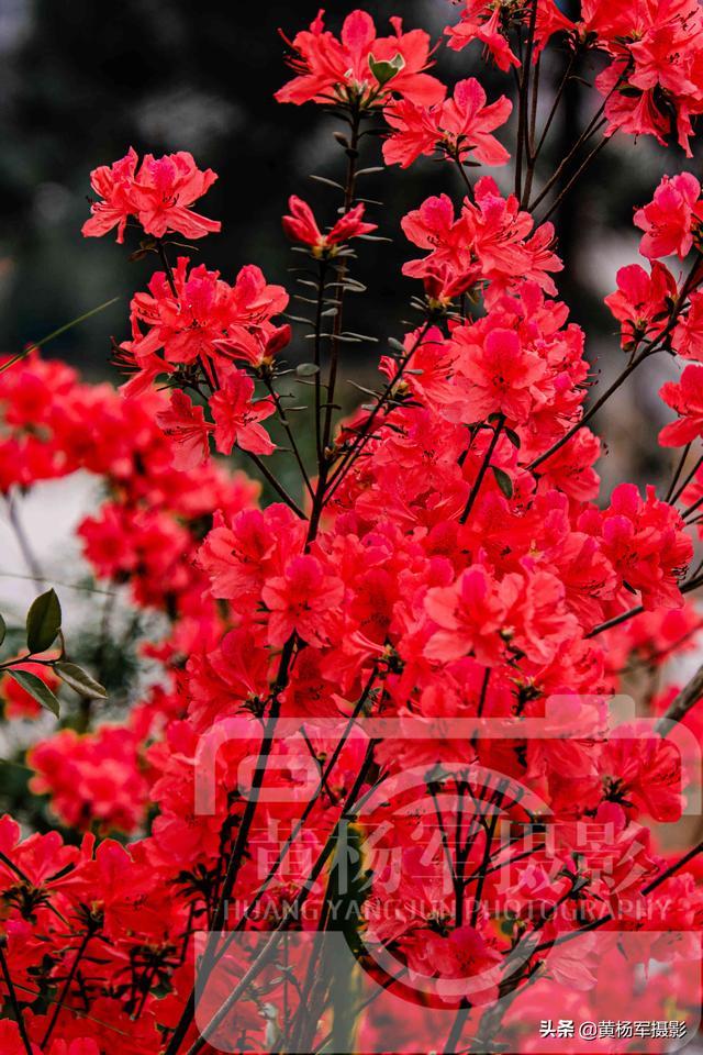 映山红娇艳绽放的美丽红花图片,红如火的花儿格外迷人,满山红花最美春色