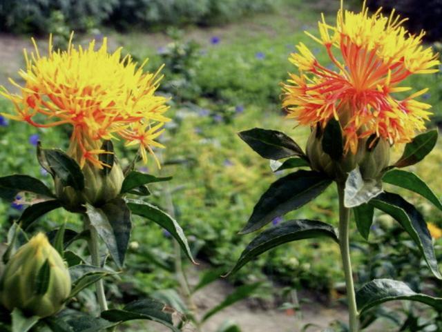 """在山上有1种""""野花""""红花图片,被称为""""红花"""",植株珍贵,却少有人栽培"""