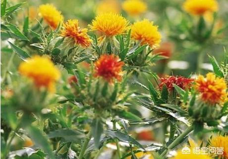怎样鉴别红花的质量真假红花图片?