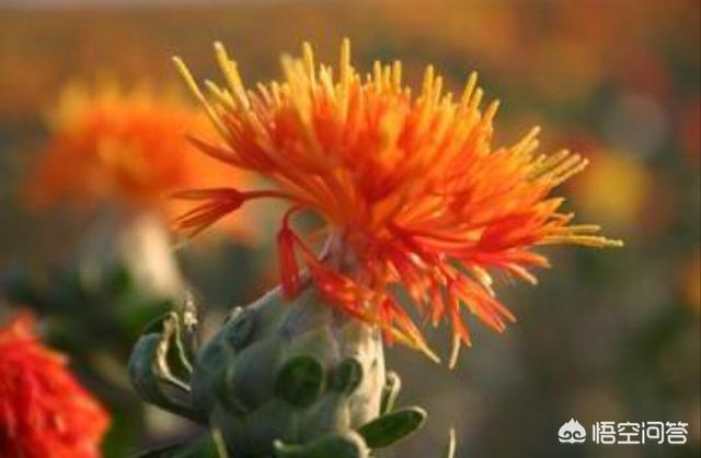 种植红花前景好吗红花图片?哪里收购红花?